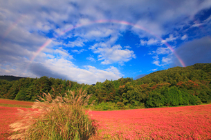 花咲く赤そば畑とススキと朝の虹の写真素材 [FYI01509757]