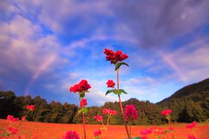 花咲く赤そば畑の花のアップと朝の虹の写真素材 [FYI01509790]