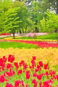チューリップ畑と新緑の樹林の写真素材 [FYI01509802]