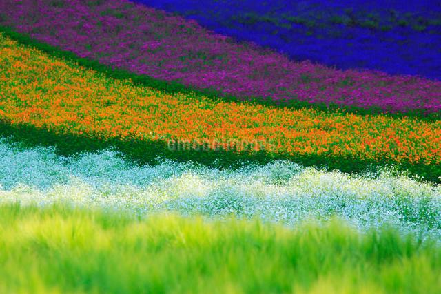ラベンダーとカリフォルニアポピーなどの花畑,夕景の写真素材 [FYI01509844]