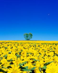 ヒマワリ畑とハートの木とパラグライダーの写真素材 [FYI01509864]