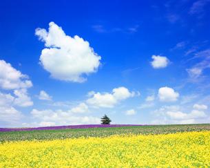 ラベンダー畑と菜の花畑と木立とうさぎ形のわた雲の写真素材 [FYI01509909]