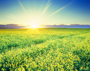 菜の花畑と十勝連峰と朝日の光芒の写真素材 [FYI01509975]