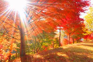 紅葉のモミジの樹林と朝の木もれ日の光芒の写真素材 [FYI01509980]