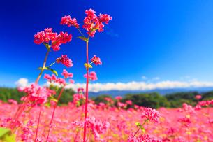 花咲く赤そば畑の花のアップの写真素材 [FYI01509992]