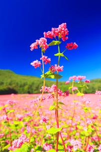花咲く赤そば畑の花のアップの写真素材 [FYI01509995]