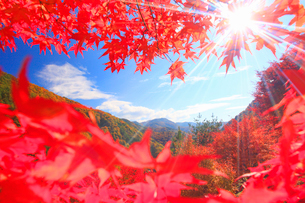 紅葉のモミジの林と木もれ日の光芒と萱野高原方向の山並みの写真素材 [FYI01510035]