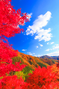 紅葉のモミジの林と萱野高原方向の山並みの写真素材 [FYI01510040]