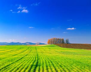 小麦畑の丘と紅葉のカラマツの木立の写真素材 [FYI01510046]
