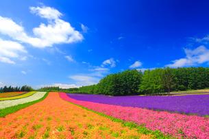 ラベンダーと小町草とカリフォルニアポピーなどの花畑の写真素材 [FYI01510049]