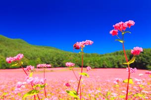 花咲く赤そば畑の花のアップとミツバチの写真素材 [FYI01510067]