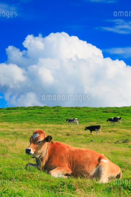 ジャージー種の牛とホルスタインと牧草地の写真素材 [FYI01510075]