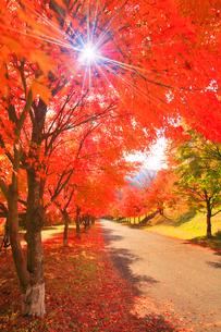 紅葉のモミジの並木と道路と木もれ日の光芒の写真素材 [FYI01510079]