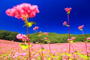 花咲く赤そば畑の花のアップの写真素材 [FYI01510105]