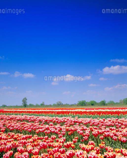 チューリップ畑の写真素材 [FYI01510116]