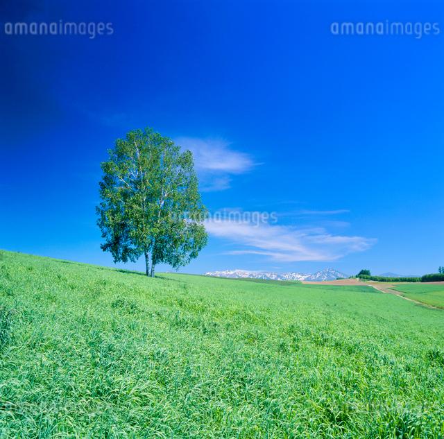 牧草地と木立と十勝連峰の写真素材 [FYI01510128]