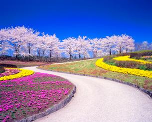 ソメイヨシノの並木とサクラソウなどの花畑と遊歩道の写真素材 [FYI01510129]