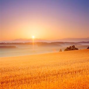 小麦畑と大雪山と朝日の写真素材 [FYI01510147]