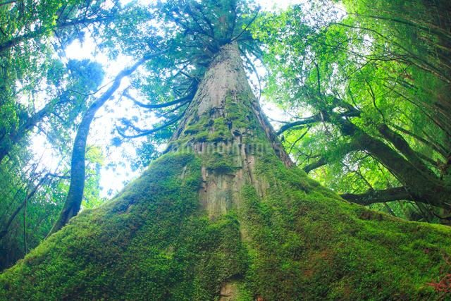 屋久杉の巨木の写真素材 [FYI01510228]