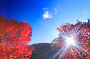 紅葉のモミジと木もれ日の光芒,朝の写真素材 [FYI01510250]