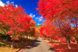 紅葉のモミジの並木と道路の写真素材 [FYI01510262]