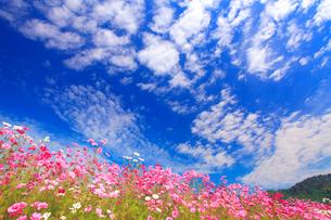 コスモス畑とうろこ雲の秋空の写真素材 [FYI01510265]