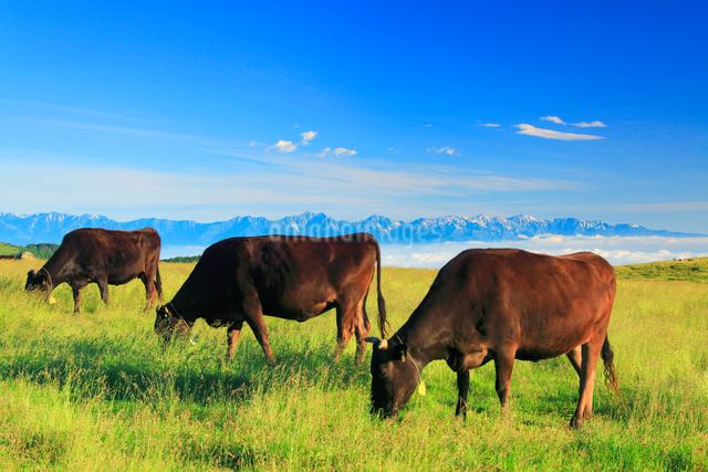 黒毛和牛と白馬岳など北アルプスの山並みの写真素材 [FYI01510304]