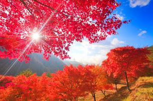 紅葉のモミジの林と木もれ日の光芒と萱野高原方向の山並み,朝の写真素材 [FYI01510314]