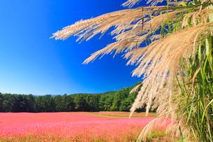 花咲く赤そば畑とススキと太陽の光芒の写真素材 [FYI01510337]