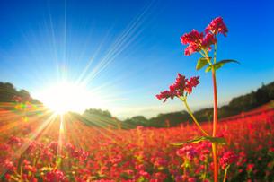 花咲く赤そば畑の花のアップと朝日の光芒の写真素材 [FYI01510361]