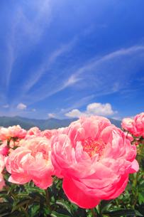 シャクヤクの花畑と本神山などの里山の写真素材 [FYI01510373]