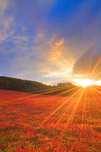 花咲く赤そば畑と朝日の光芒の写真素材 [FYI01510538]