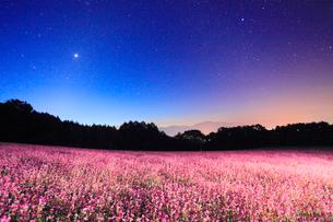花咲く赤そば畑と黎明の星空と仙丈ヶ岳など南アルプスの写真素材 [FYI01510552]