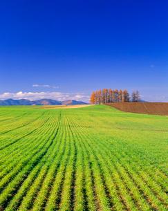 青麦の小麦畑と紅葉のカラマツの木立の写真素材 [FYI01510563]