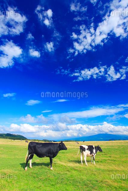 ホルスタインと牧草地の写真素材 [FYI01510603]