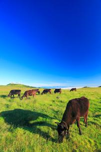 黒毛和牛と白馬岳など北アルプスの山並みの写真素材 [FYI01510605]