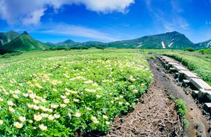 チングルマ咲く裾合平と大雪山と木道の写真素材 [FYI01510652]