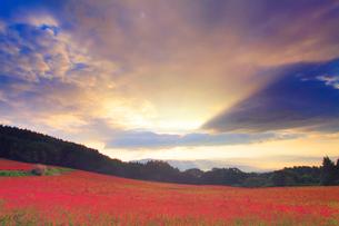 花咲く赤そば畑と朝の光芒の写真素材 [FYI01510674]