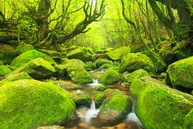 苔むす新緑の白谷川の枝沢の写真素材 [FYI01510692]