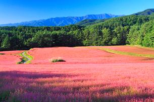 花咲く赤そば畑とススキと木曽駒ヶ岳の写真素材 [FYI01510728]
