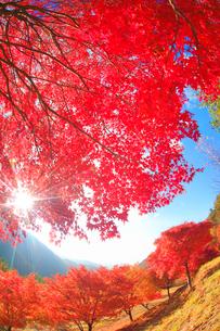 紅葉のモミジの林と木もれ日の光芒と萱野高原方向の山並みの写真素材 [FYI01510733]