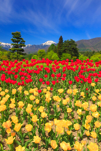 チューリップ畑と常念岳の写真素材 [FYI01510757]