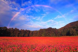 花咲く赤そば畑と朝の虹の写真素材 [FYI01510762]