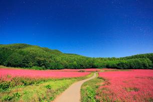 月夜の花咲く赤そば畑と道路の写真素材 [FYI01510764]
