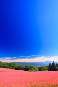 花咲く赤そば畑と道路の写真素材 [FYI01510772]