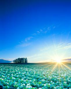 花咲くジャガイモ畑と木立と夕日の光芒の写真素材 [FYI01510778]