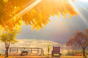 黄金アカシアの紅葉と聖湖と朝日の木もれ日の光芒の写真素材 [FYI01510793]