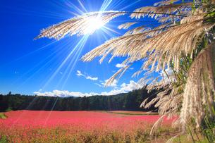 花咲く赤そば畑とススキと太陽の光芒の写真素材 [FYI01510824]