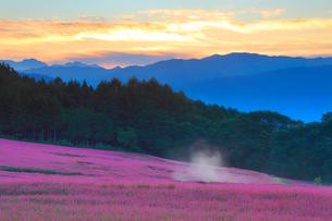 花咲く赤そば畑と朝焼けと朝霧と八ケ岳連峰の写真素材 [FYI01510830]