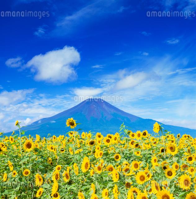 ヒマワリ畑と富士山の写真素材 [FYI01510836]